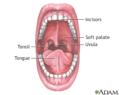 Mouth Definition Anatomy Mouth Anatomy