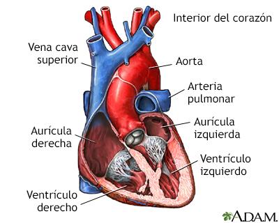 Cambios en el corazón y los vasos sanguíneos por el envejecimiento